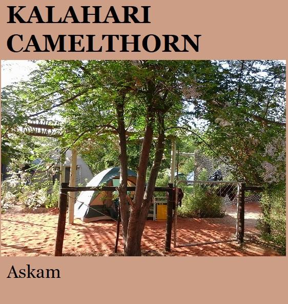 Kalahari Camelthorn - Askam